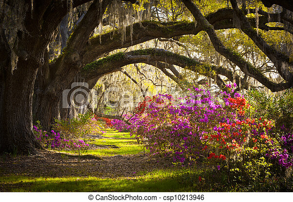 весна, испанский, дуб, trees, плантация, жить, азалия, мох, blooming, южная каролина, чарльстон, цветы, blooms - csp10213946