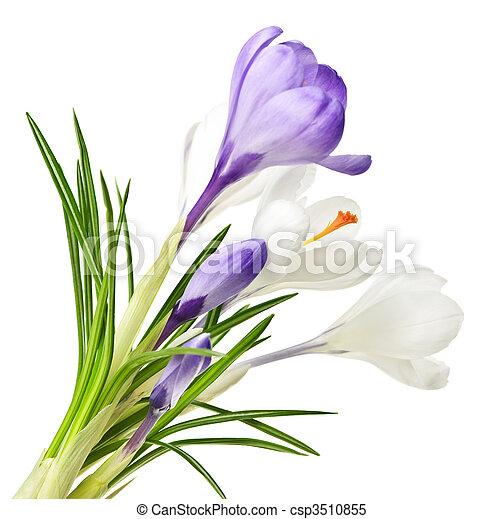 весна, цветы, крокус - csp3510855