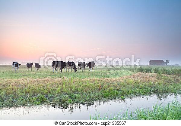 выгон, восход, крупный рогатый скот - csp21335567