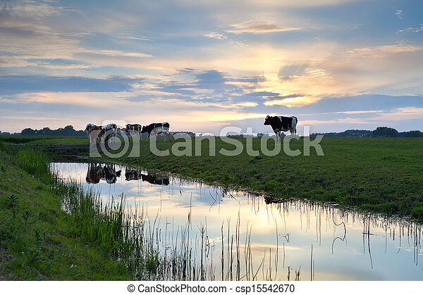выгон, закат солнца, крупный рогатый скот - csp15542670