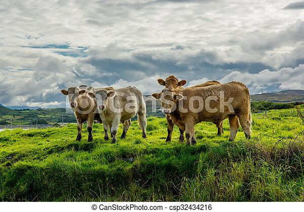 выгон, ирландия, крупный рогатый скот - csp32434216