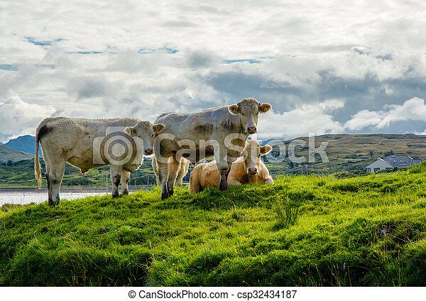 выгон, ирландия, крупный рогатый скот - csp32434187
