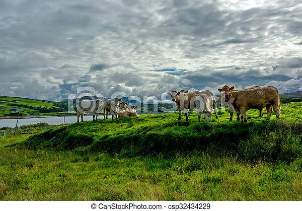 выгон, ирландия, крупный рогатый скот - csp32434229
