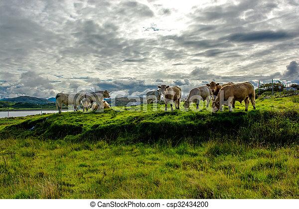выгон, ирландия, крупный рогатый скот - csp32434200