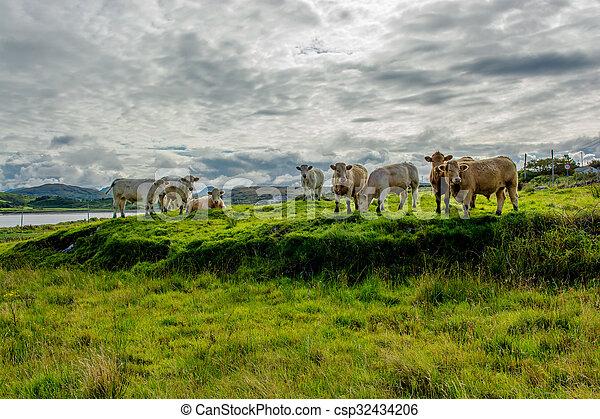 выгон, ирландия, крупный рогатый скот - csp32434206
