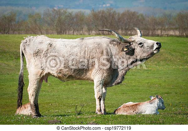 выгон, крупный рогатый скот - csp19772119