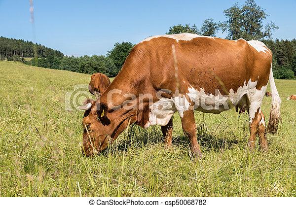 выгон, крупный рогатый скот - csp50068782