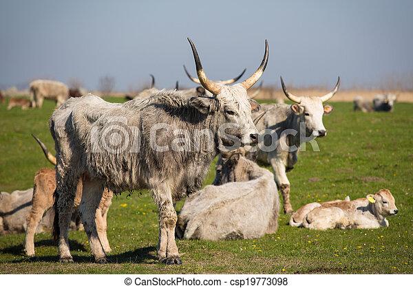 выгон, крупный рогатый скот - csp19773098