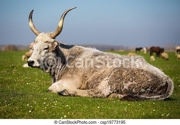 выгон, крупный рогатый скот - csp19773195