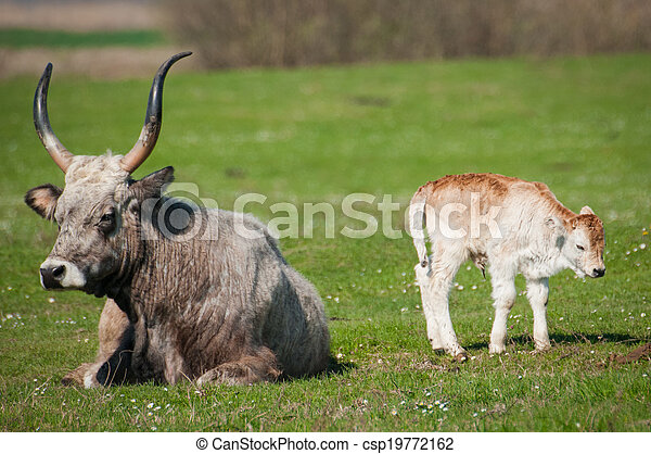 выгон, крупный рогатый скот - csp19772162