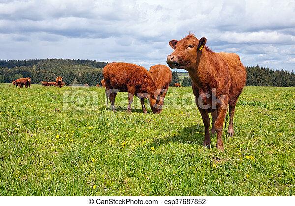 выгон, крупный рогатый скот - csp37687852