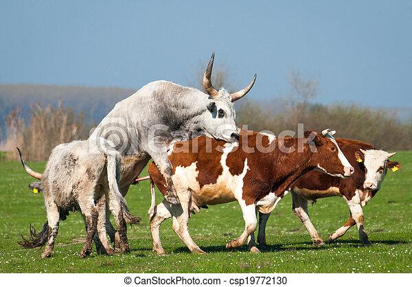 выгон, крупный рогатый скот - csp19772130