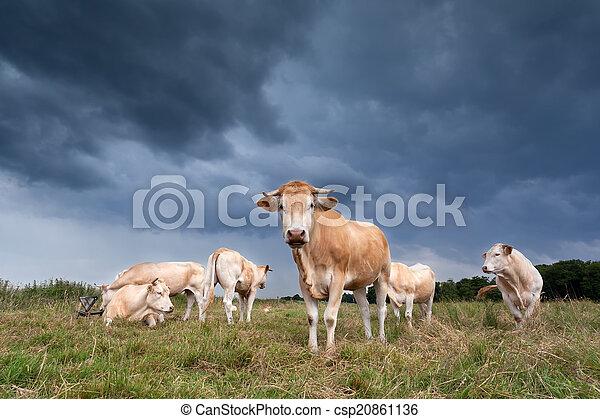 выгон, крупный рогатый скот - csp20861136
