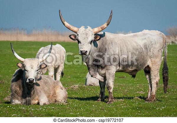 выгон, крупный рогатый скот - csp19772107