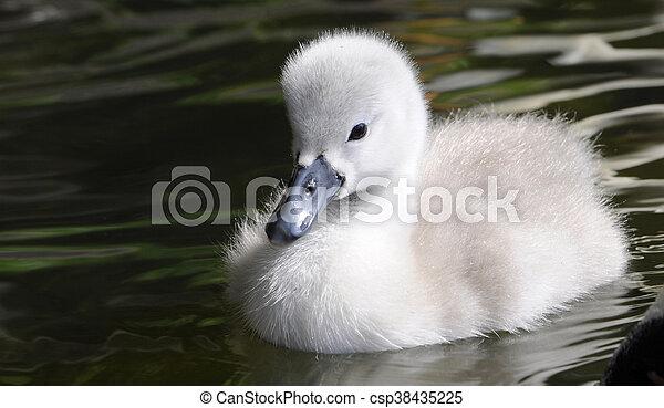 детка, цыпленок, пушистый, лебедь - csp38435225