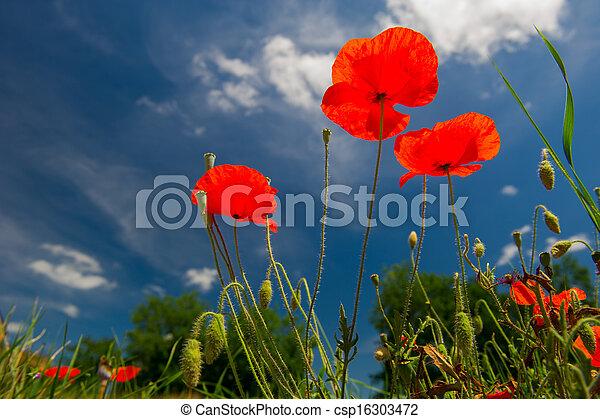 красный, poppies - csp16303472