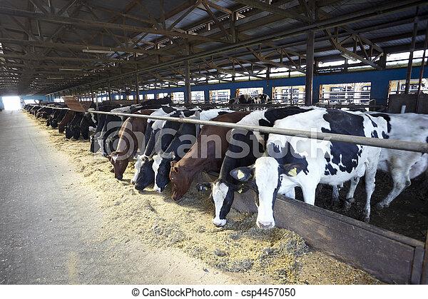 молоко, корова, ферма, бычий, сельское хозяйство - csp4457050