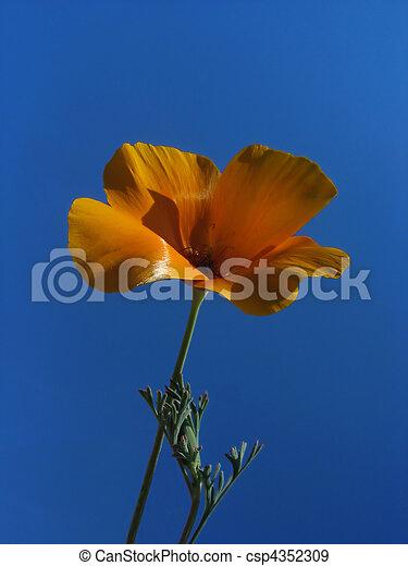 оранжевый, синий, цветок, небо, против - csp4352309