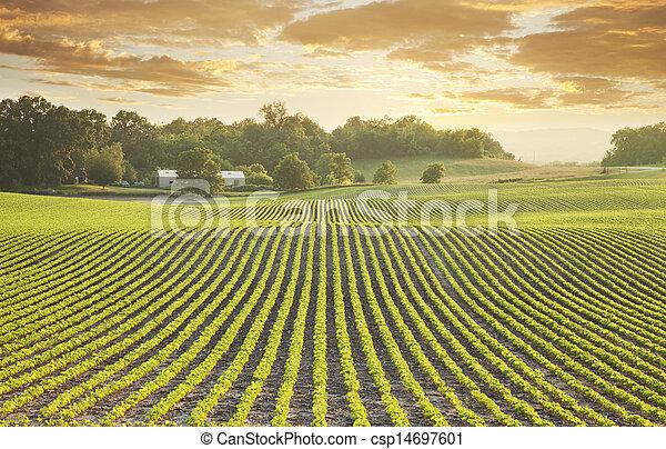 поле, заход солнца, соя - csp14697601