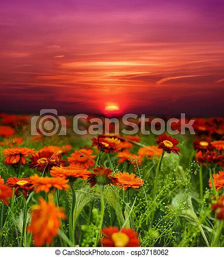 поле, цветок, закат солнца - csp3718062