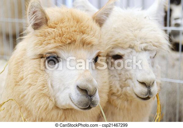 пушистый, два, alpacas - csp21467299