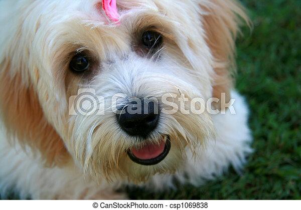 пушистый, собака, лицо - csp1069838