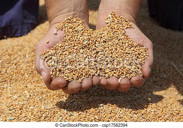 пшеница, уборка урожая, сельское хозяйство - csp17562394