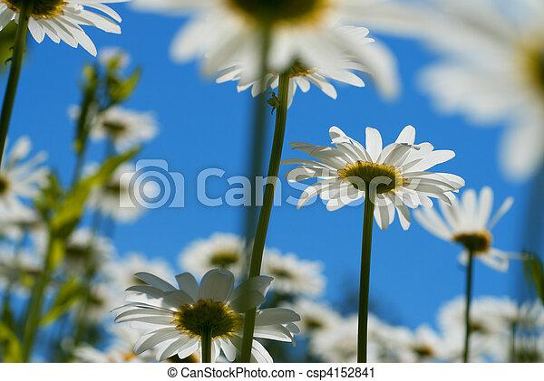 синий, белый, небо, chamomiles, против - csp4152841
