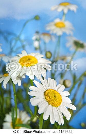 синий, белый, небо, chamomiles, против - csp4152622