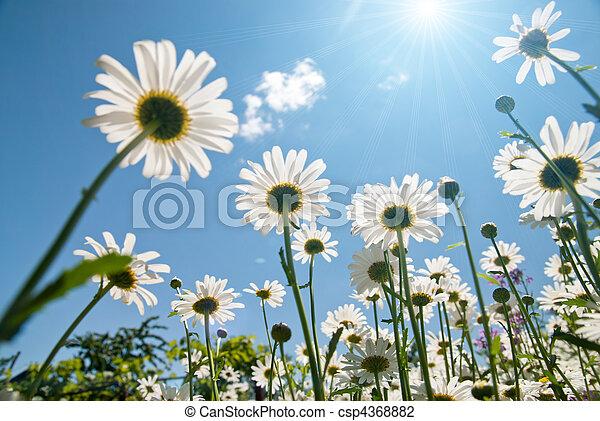 синий, белый, небо, chamomiles, против - csp4368882