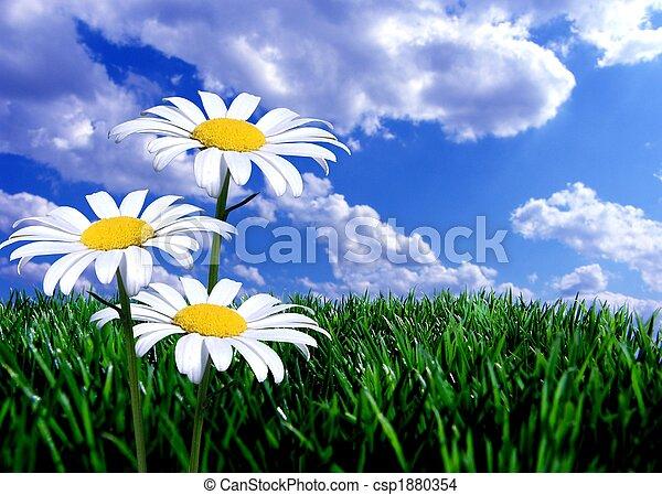 синий, зеленый, трава, небо, daisies - csp1880354
