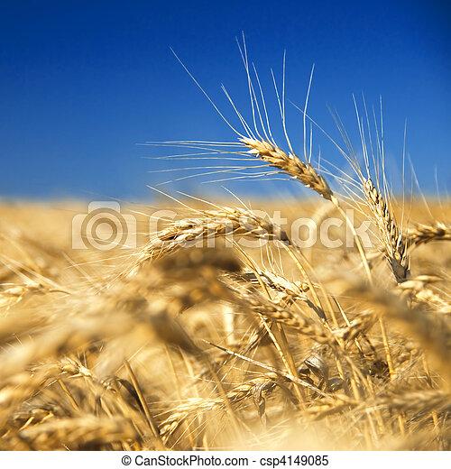 синий, золотой, пшеница, против, небо - csp4149085