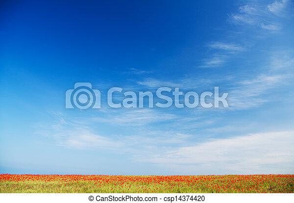 синий, мак, небо, против, поле - csp14374420