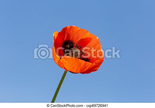 синий, цветок, небо, против, мак, красный - csp69726941