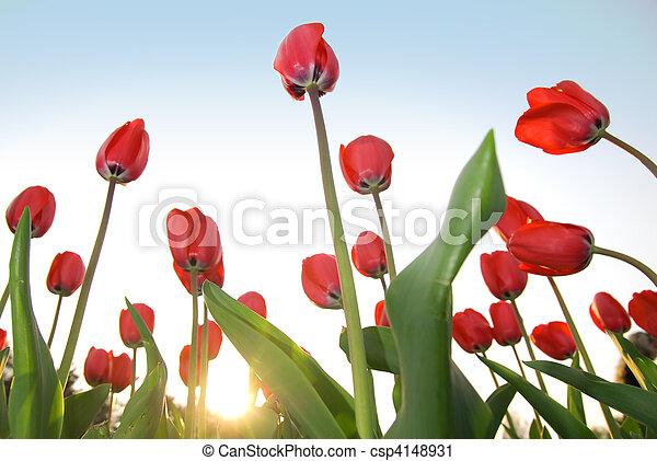 синий, tulips, небо, красный, против - csp4148931