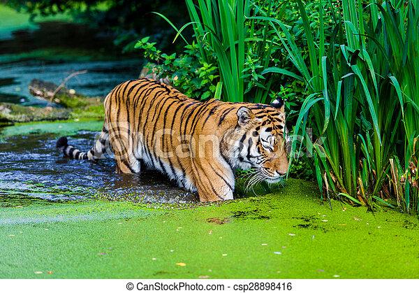 тигр, воды - csp28898416