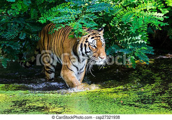 тигр, воды - csp27321938