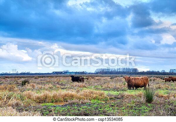 шотландский, выгон, горная местность, крупный рогатый скот - csp13534085