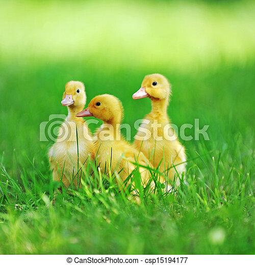 chicks, пушистый, три - csp15194177