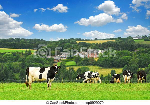 cows, выгон - csp0929079