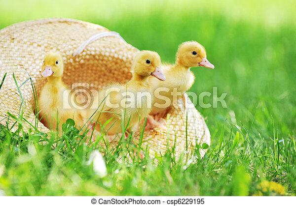 ducklings, пушистый - csp6229195