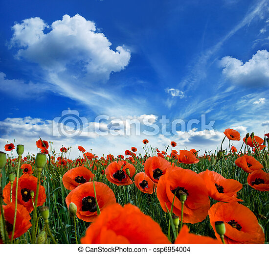 poppies, blooming - csp6954004